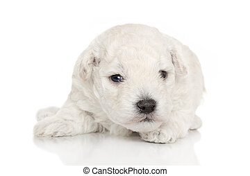 Cute poodle puppy behind a white wall  Cute poodle puppy