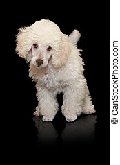 White poodle puppy on black background