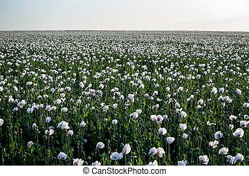White poppy field.