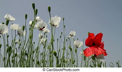 White poppy flowers in the field at spring time