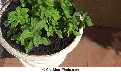 white pot of beautiful green plants