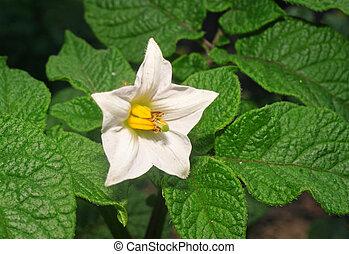 White Potato Flower closeup in the garden