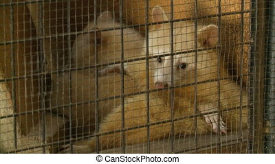 White Procyonidae In Cage - Steady, medium close up shot of...