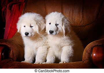 white puppies in armchair