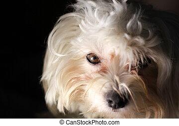 White puppy dog on black background