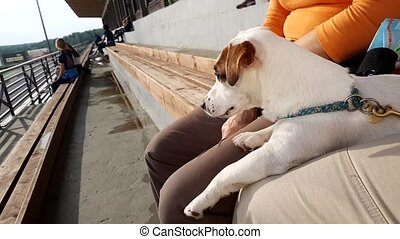 White puppy looking to horse show dressage competition on...