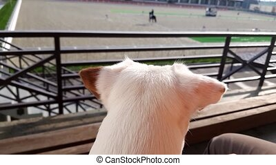 White puppy looking to horse show dressage competition, rear...