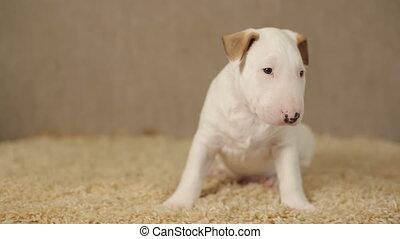 White puppy of bull terrier