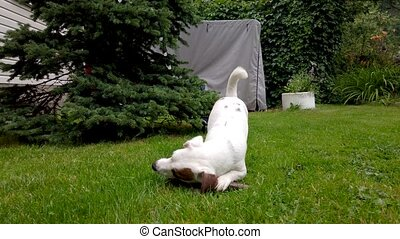 White puppy plays outdoors
