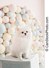 white puppy pomeranian dog cute pet happy smile