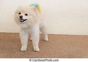 white puppy pomeranian dog cute pets looking at camera