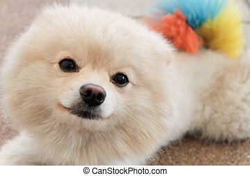 white puppy pomeranian dog cute pets looking at camera