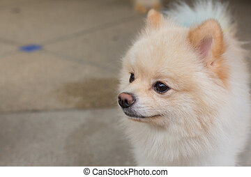 white puppy pomeranian dog short hair grooming, cute pet happy smile friendly