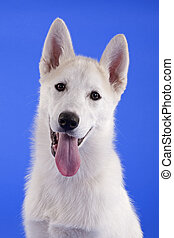 white puppy portrait in studio