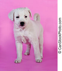 White puppy standing on pink