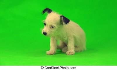 white puppy  isolated on a green background