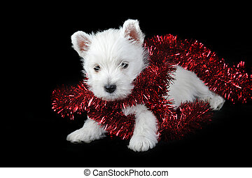 white puppy with red ribbon on black