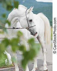 white purebred arabian stallion