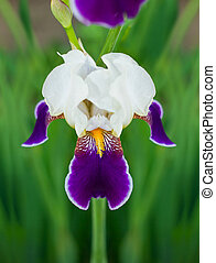 White-purple flower of iris
