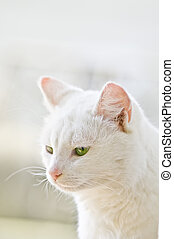 white pussycat with green eyes