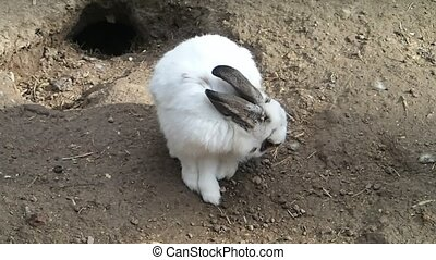 A white rabbit caring its fur