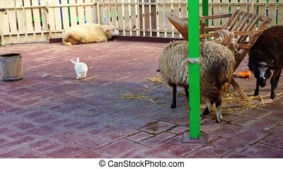 white rabbit and sheep in the animal enclosure at the contact zoo. The ram chases the rabbit. therapy for children and adults.