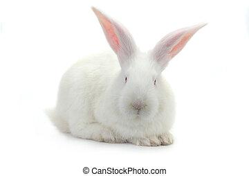 white rabbit - brown rabbit on a white background