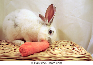 white rabbit eating a carrot