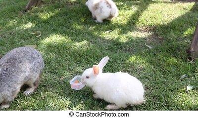 White rabbit eating carrot slices.