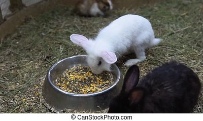 white rabbit eats food from a bowl selective focus