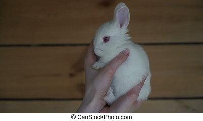 White Rabbit. Hands holding a white rabbit