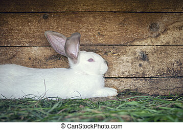White rabbit in a hutch - White rabbit laying on the grass ...