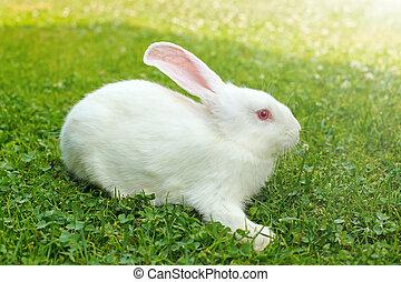 White rabbit in green grass