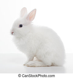 White rabbit isolated on white background