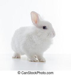 White rabbit isolated on white background