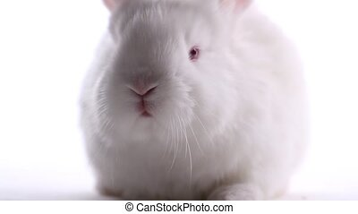 white rabbit moves his nose on a white background, animals and holidays