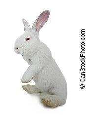 white rabbit -  white rabbit on a white background