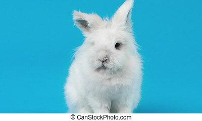 White rabbit on blue screen