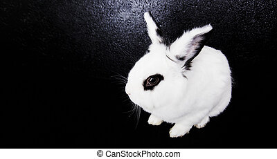 White rabbit on the black background