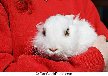 white rabbit - young rabbit held in arms by a girl