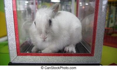 White Rabbit. Rabbit in the box for tricks