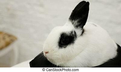 white rabbit sits