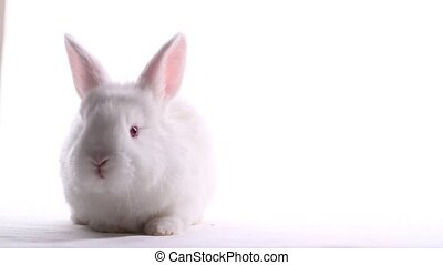 white rabbit sitting on a white background, animals and...