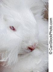White Rabbit - Close up of a white angora rabbit.