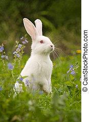 White Rabbit - White rabbit playing in grass