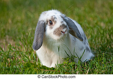 whitel rabbit on the green grass