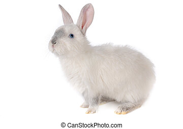 rabbit - white rabbit with blue eyes