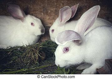 White rabbits in a hutch
