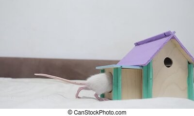white rat climbs into the hole in the house. cute mouse...