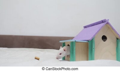 white rat comes out of the burrow of a house and sniffs food in search of food . cute mouse albino rat pet goes to the house. white rat concept cute lifestyle